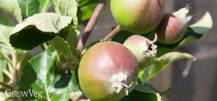 Immature apples