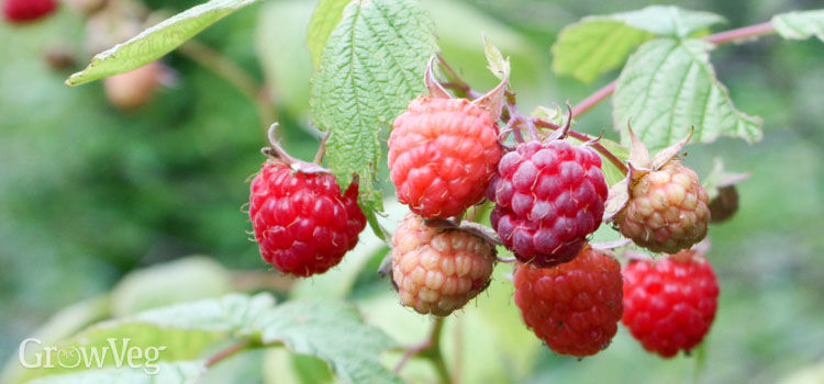https://res.cloudinary.com/growinginteractive/image/upload/q_80/v1446332345/growblog/red-raspberries-2x.jpg
