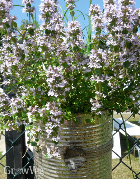 Thyme growing in a tin can