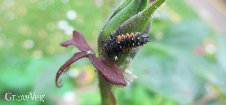 Ladybug larva feeding on whiteflies