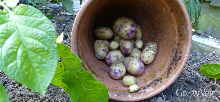 Harvested potatoes