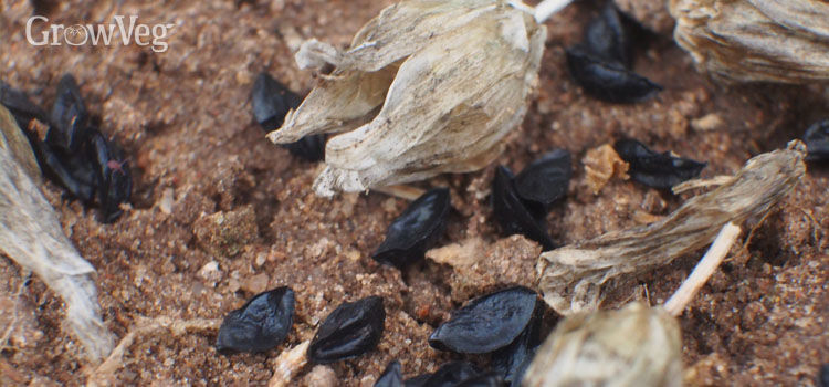 Chives self-seeding