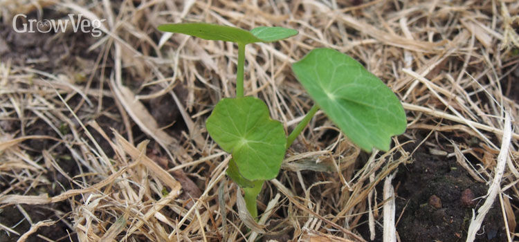 Self-seeded nasturtium