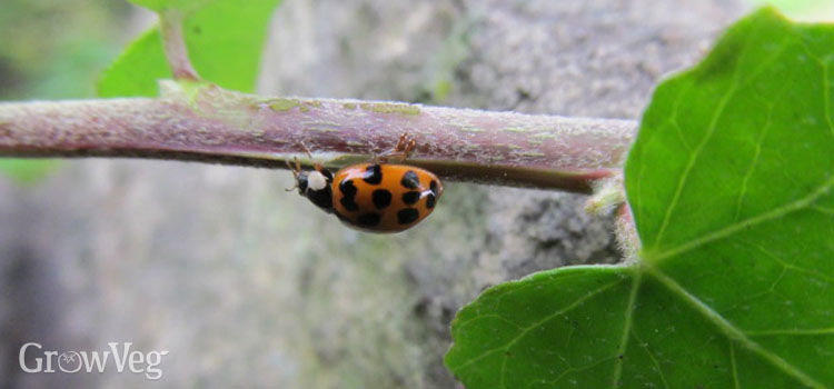 Ladybugs can eat up to 150 aphids a day!