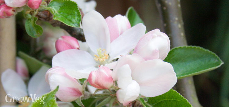 https://res.cloudinary.com/growinginteractive/image/upload/q_80/v1446654087/growblog/apple-blossom2-2x.jpg
