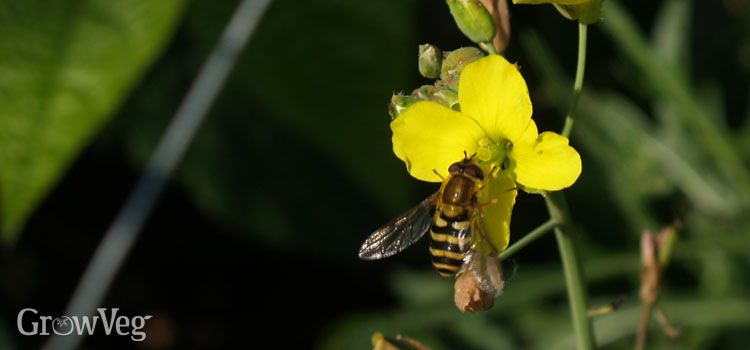 Hoverfly on a rocket flower