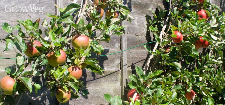 Apple (Cordon)