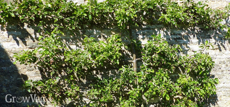 Apple (Espalier)