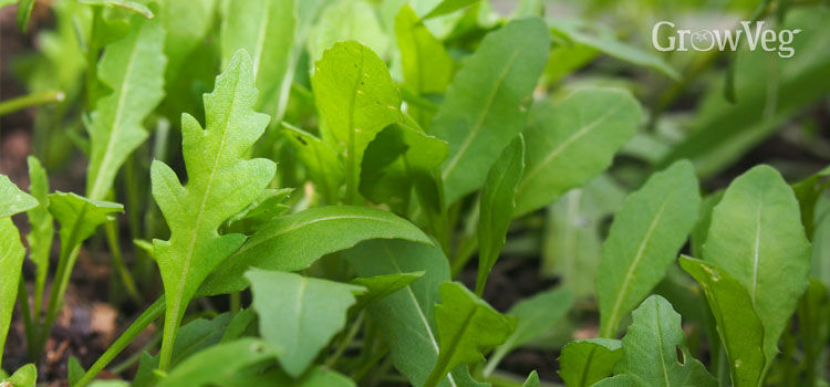 Arugula, also known as Rocket