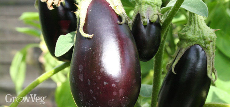 Aubergine, also known as EggPlant