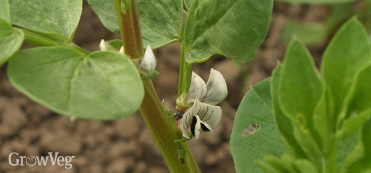 Beans (Fava), also known as Broad Beans