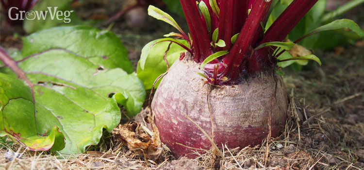 Beet, also known as Beetroot