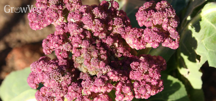 Broccoli, also known as Purple Sprouting