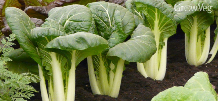 Cabbage (Chinese)