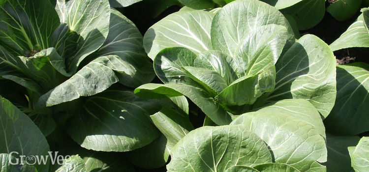 Pak Choi, also known as Cabbage (Chinese)