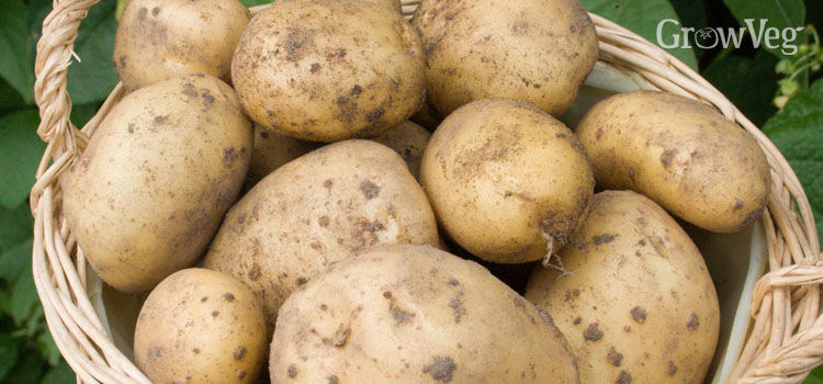 Potatoes (Maincrop)