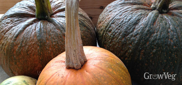 Pumpkin (Round), also known as American Pumpkin