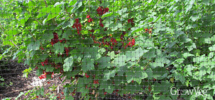 https://res.cloudinary.com/growinginteractive/image/upload/q_80/v1446914023/Plants/redcurrant-2x.jpg