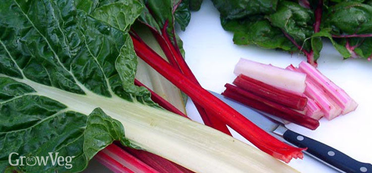 Silver Beet, also known as Swiss Chard