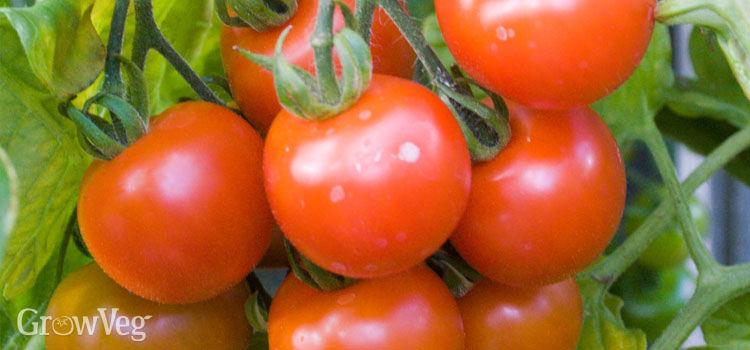 Tomato (Cherry)