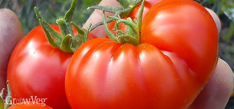 https://res.cloudinary.com/growinginteractive/image/upload/q_80/v1446936099/Plants/tomato-large-2x.jpg