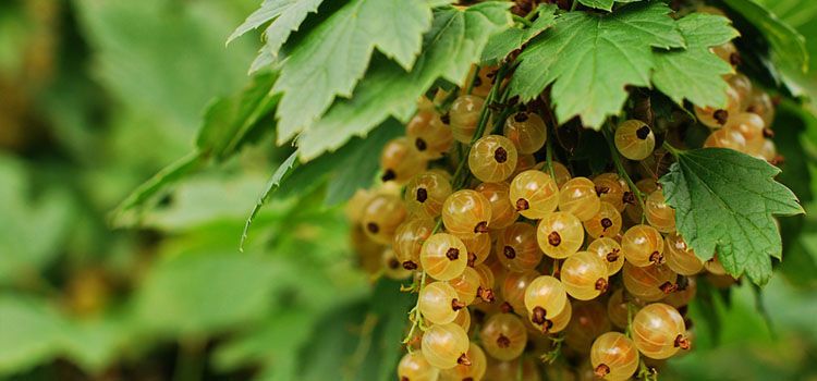 6618a3d87 How to Winter Prune Gooseberries and Currant Bushes