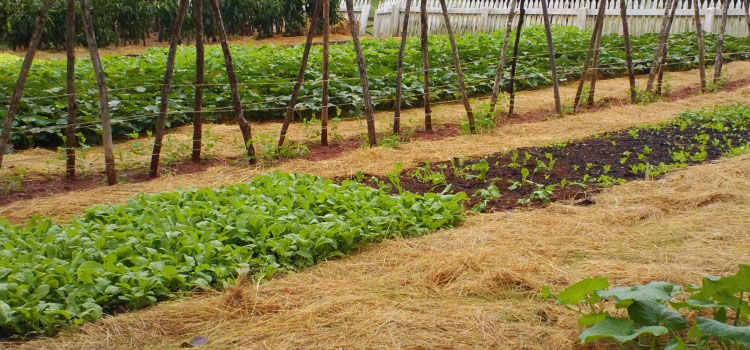 Using hay as a mulch for vegetable garden paths