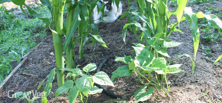 Beans and corn growing in a 3 sisters planting plan