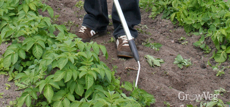 Hoeing between potatoes to keep weeds down
