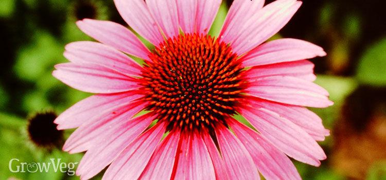 """""""Echinacea"""""""