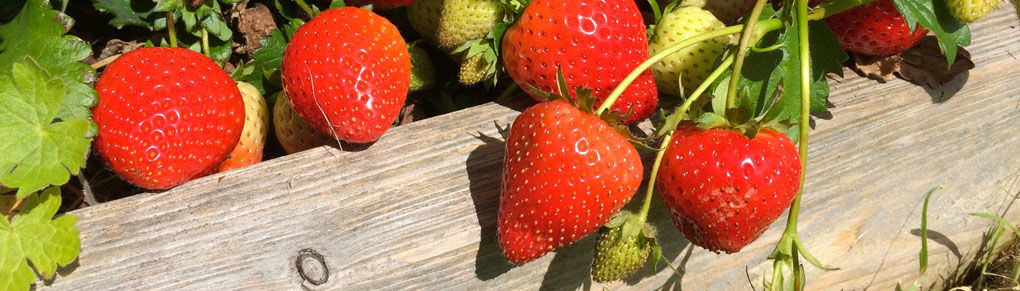 How to Grow New Strawberry Plants from Runners