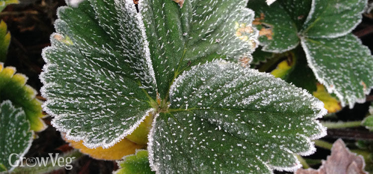 Frost on strawberry leaves