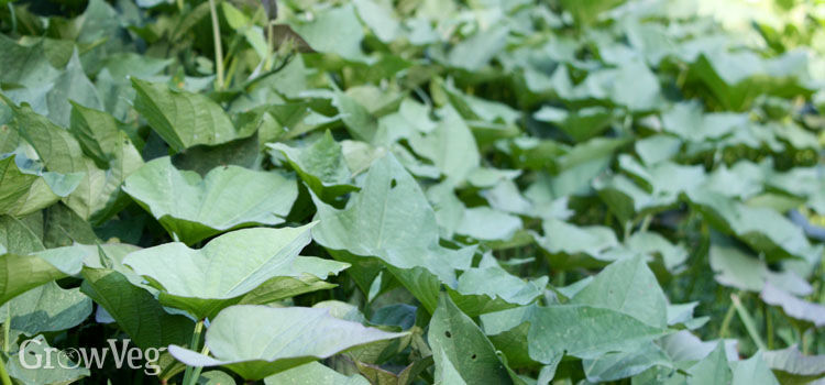 Sweet potato vines as ground cover