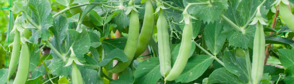 An Easy Way to Start Peas Using Guttering