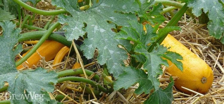 Yellow zucchini'