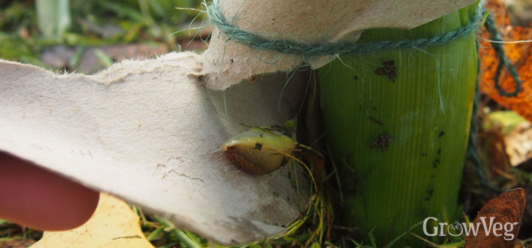 Slug inside cardboard tube used for blanching leeks