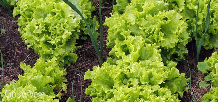 Lettuces interplanted with leeks