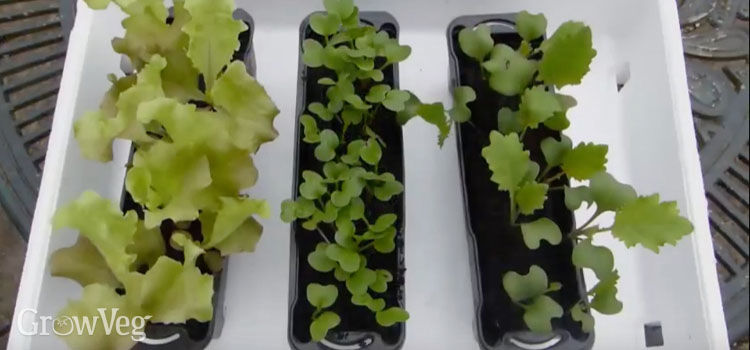 Using a polystyrene box to insulate seedlings from frost