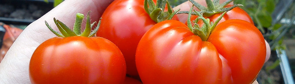 How to Prepare and Store Seeds from your Tomato Plants