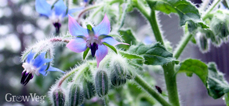 https://res.cloudinary.com/growinginteractive/image/upload/q_80/v1459439920/growblog/borage-flowers-2x.jpg