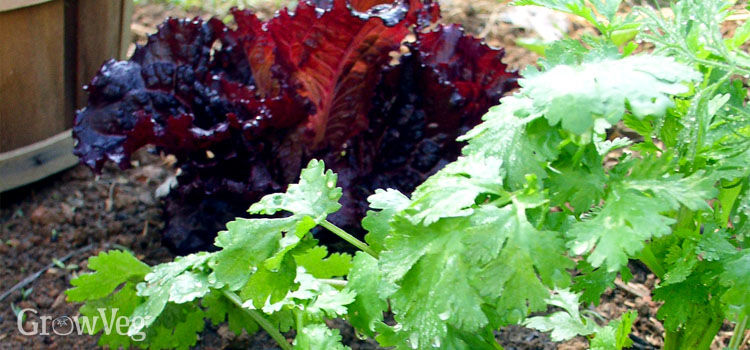 Growing lettuce and coriander together as companion plants