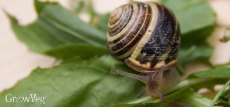 Snail on salad leaves