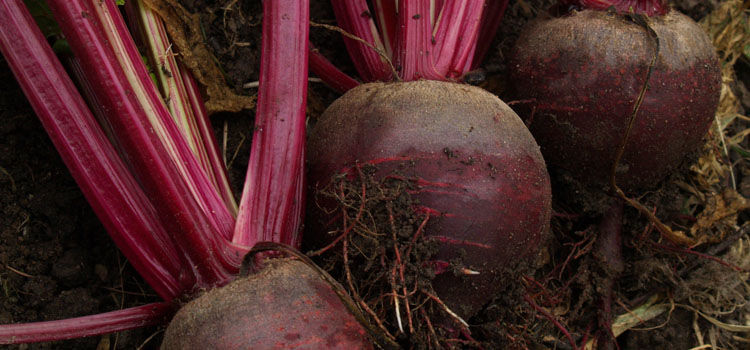 Homegrown beetroot