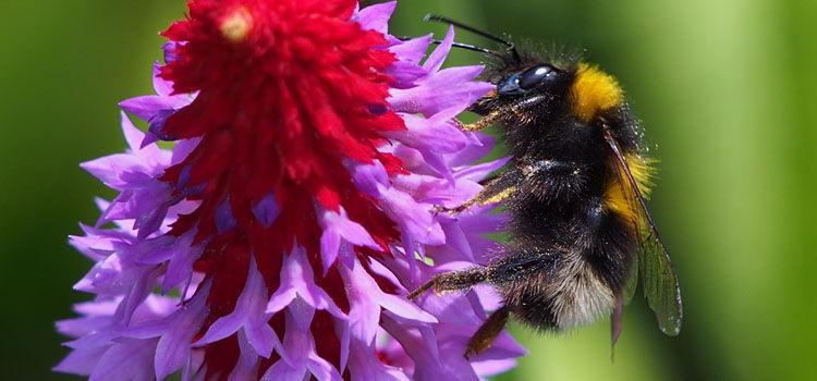 Bumblebee o Primula vialii