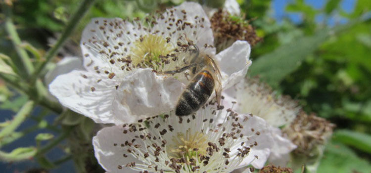 Honeybee pollinating a blackberry flower