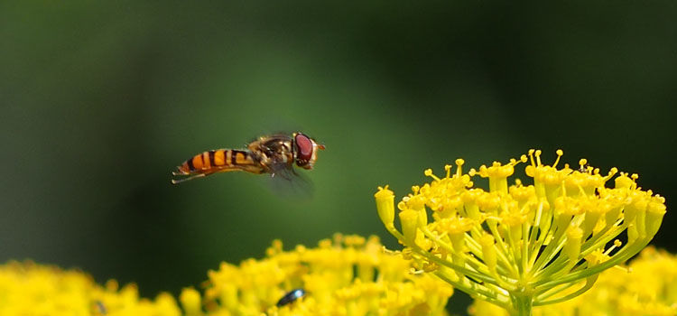 Hoverfly hovering over dill