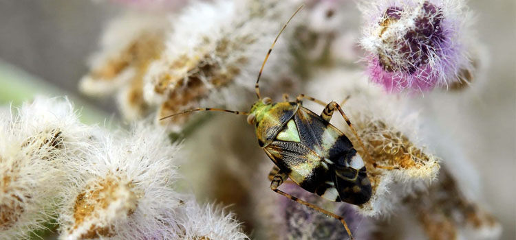 Mirid bug (Liocoris tripustulatus)