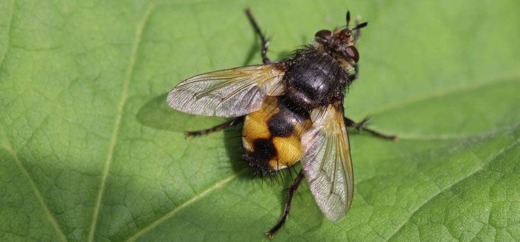 Tachinid fly (Nowickia ferox)