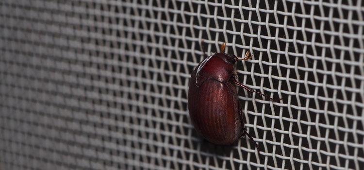 Asiatic garden beetle