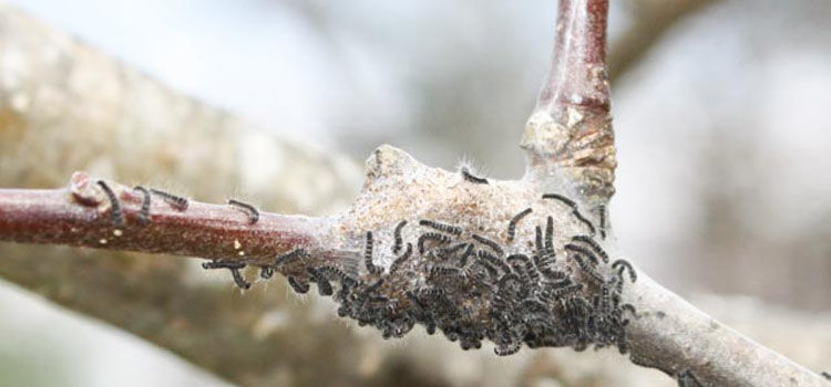 Tent caterpillars on an apple tree